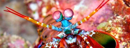 camarón mantis, primer plano de los ojos