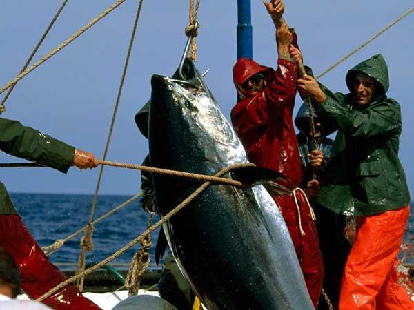Un atún es capturado por pescadores