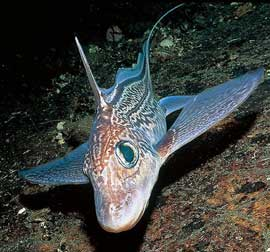 pez conejo (Chimaera monstrosa)