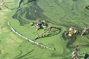cianobacterias en el agua