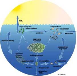 ciclo del fitoplancton en los océanos