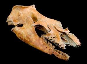 cráneo fósil de Mammalodon