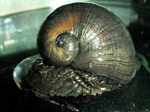 Crysomallon squamiferum, caracol marino píe escamoso