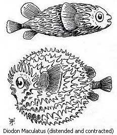 Diodon maculatus, dibujo Darwin diario Beagle