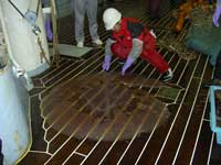 ejemplar medusa nomura en la cubierta de un barco