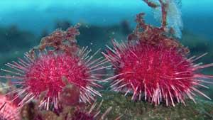 erizos de mar víctimas de la acidificación