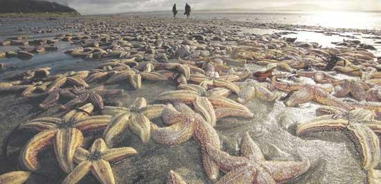 miles de estrellas de mar en la playa de Lissadell, Irlanda