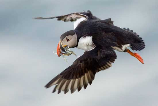 frailecillo atlántico en vuelo