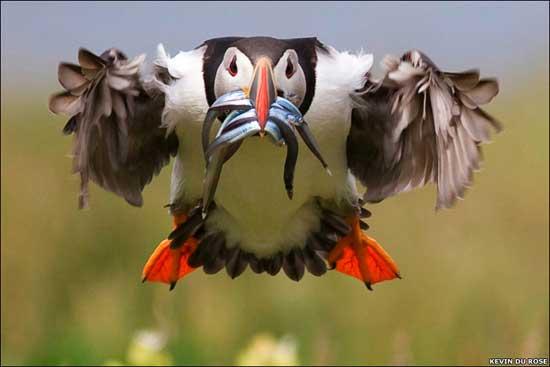 frailecillo en vuelo con pesca en el pico