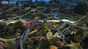 gusanos marinos gigantes y estrellas de mar