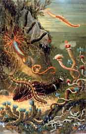 gusanos marinos policaetas