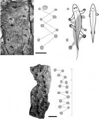 huellas fósiles de primeros tetrápodos