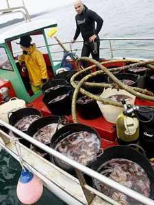 limpieza estrellas de mar en Ferrol