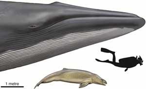 Mammalodon, comparación tamaño