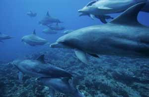 manada de delfines