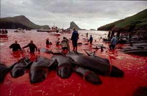 masacre ballenas. islas Feroe, Dinamarca