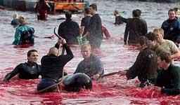 matanzade ballenas islas Feroe, Dinamarca