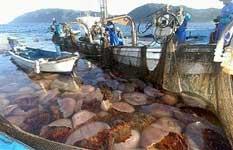 medusas nomuras en la red de un pesquero