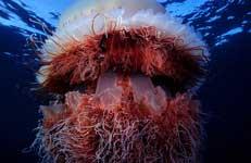 bella medusa nomura