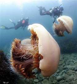 medusas Echizen kurage y buzos