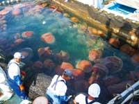 medusas nomura capturadas por pescadores