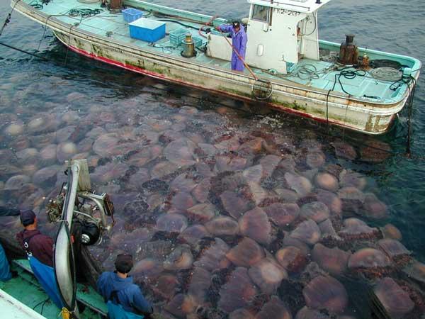 medusas nomura en redes de pescadores
