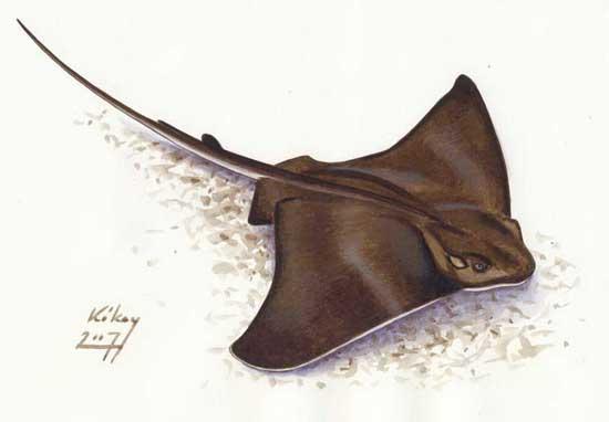 Myliobatis aquila (águila marina)