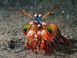 Odontodactylus scyllarus (camarón mantis)