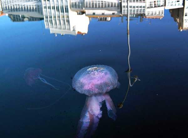 medusa pelagia noctiluca en el puerto de A Coruña