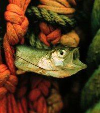 pez ahogado entra negras redes