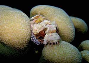 pez escorpión (scorpaenopsis sp)