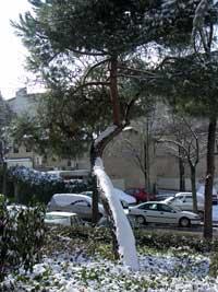 pino nevado, Madrid - enero 2010