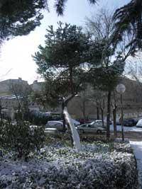 pino nevado, Madrid, enero 2010