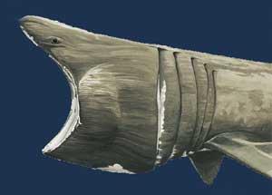 dibujo de tiburón con la boca abierta