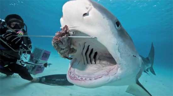 tiburón come cebo de un buzo