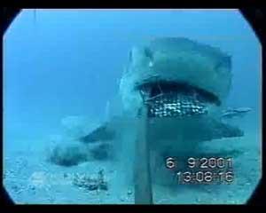 Tiburón devora cámara submarina