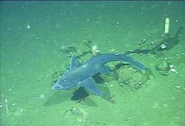 tiburón fantasma