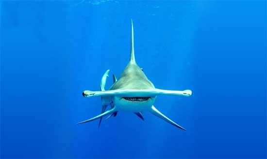 Un tiburón martillo de frente