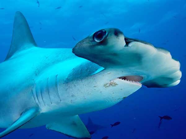 tiburón martillo primer plan visión