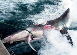 tiburón mordido