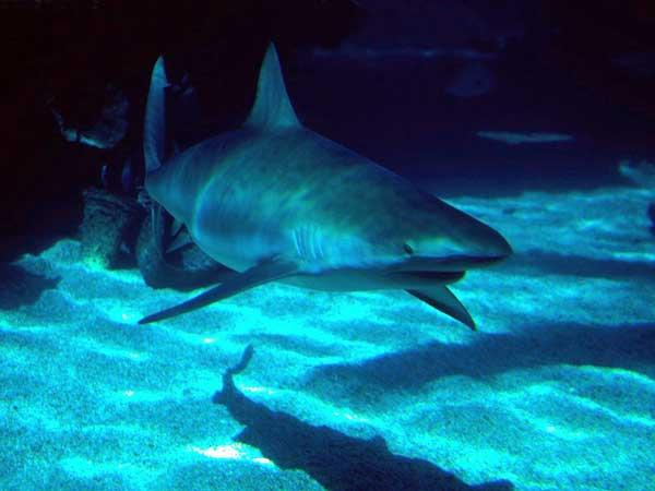 Un tiburón en el Oceanografic de Valencia