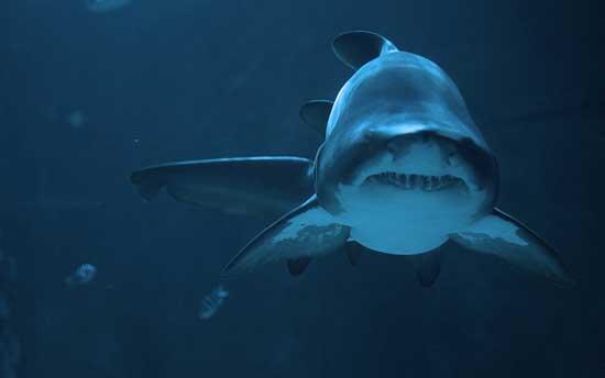 tiburón, primer plano