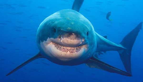 Un tiburón sonriente