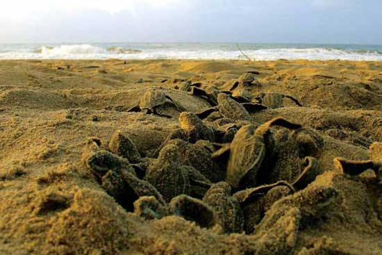 tortugas marinas (turtles dermochelys)