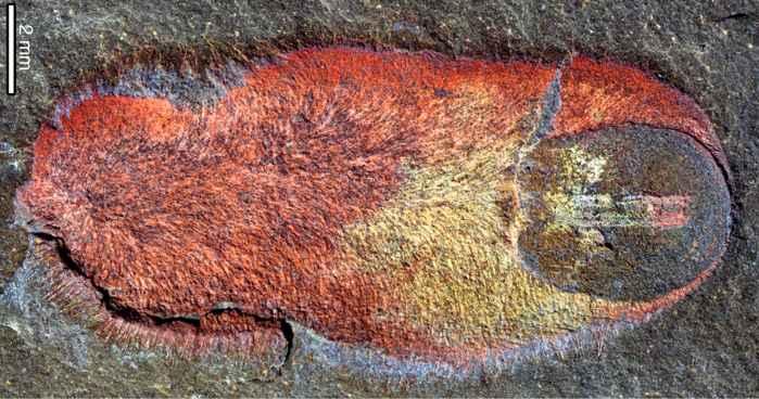 Calvapilosa kroegeri, fósil