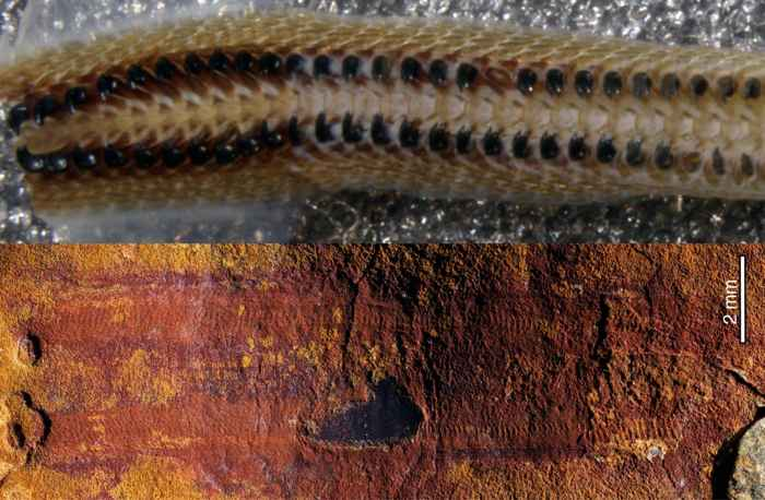 Calvapilosa kroegeri, rádula