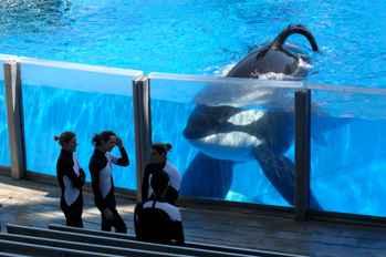 La orca Tilikum en Seaworld