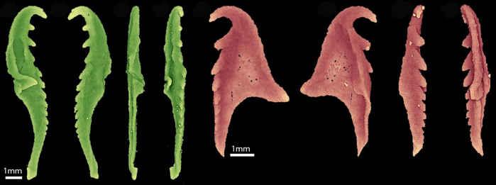 mandíbulas del Websteroprion armstrongi