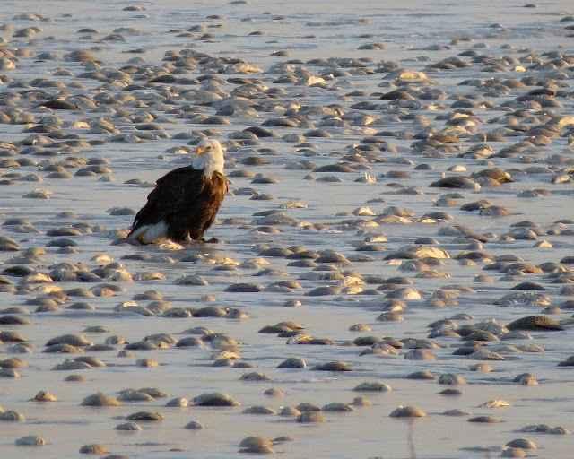 águila come peces congelados