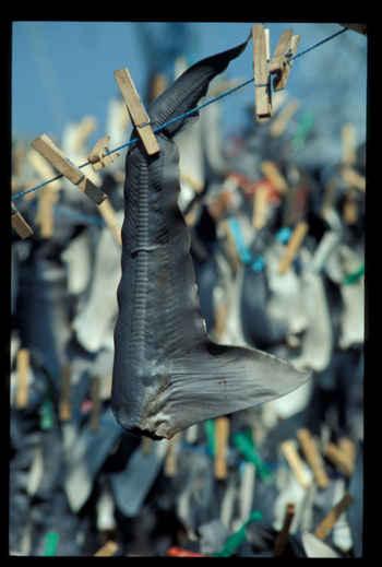 aleta de tiburón secándose